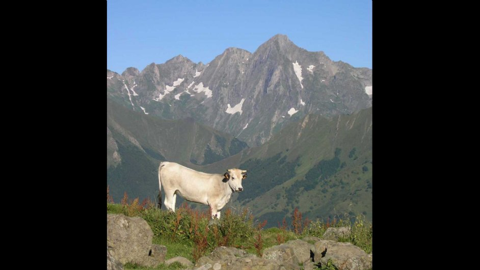 Cow with Mont Valier in background